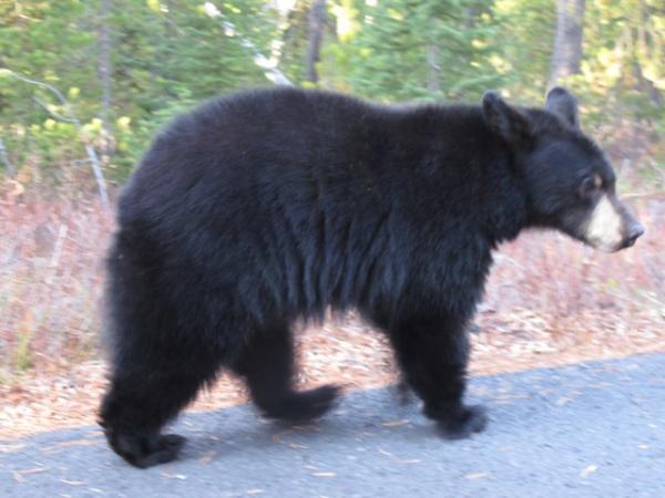 Črni medved